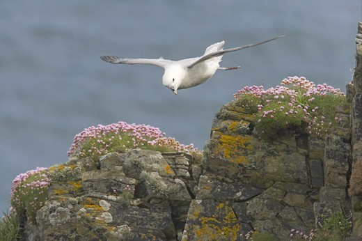Stock Photo: 4421-5049 Northern Fulmar (Fulmaris glacialis) adult, in flight over clifftop, Sumburgh Head, Shetland Islands, Scotland