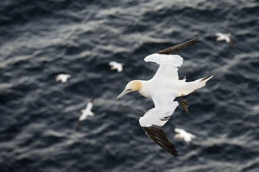 Northern Gannet (Morus bassanus) adult, in flight over sea, Troup Head, Moray Firth, Scotland : Stock Photo
