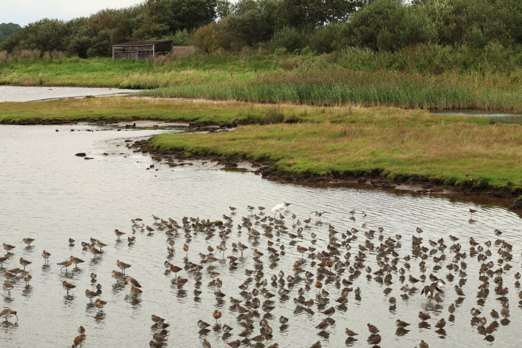 Stock Photo: 4421-5204 Black-tailed Godwit (Limosa limosa) and Common Redshank (Tringa totanus) mixed flock, at high tide roost in scrape, Leighton Moss RSPB Nature Reserve, Lancashire, England, september