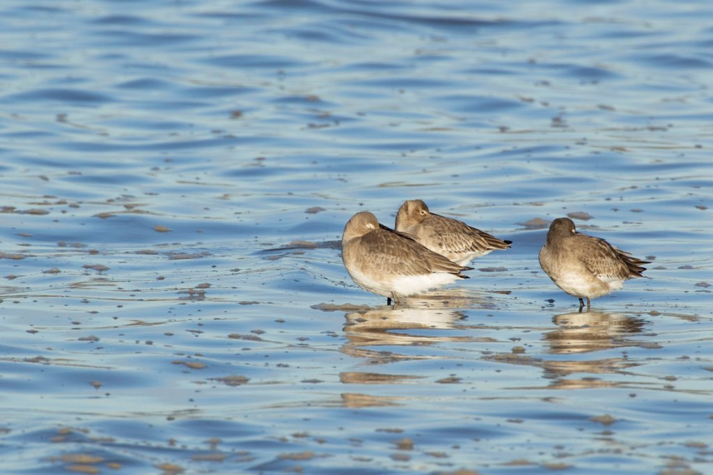 Stock Photo: 4421-5214 Black-tailed Godwit (Limosa limosa) three adults, winter plumage, roosting in water at high tide, River Stour, Essex, England, january