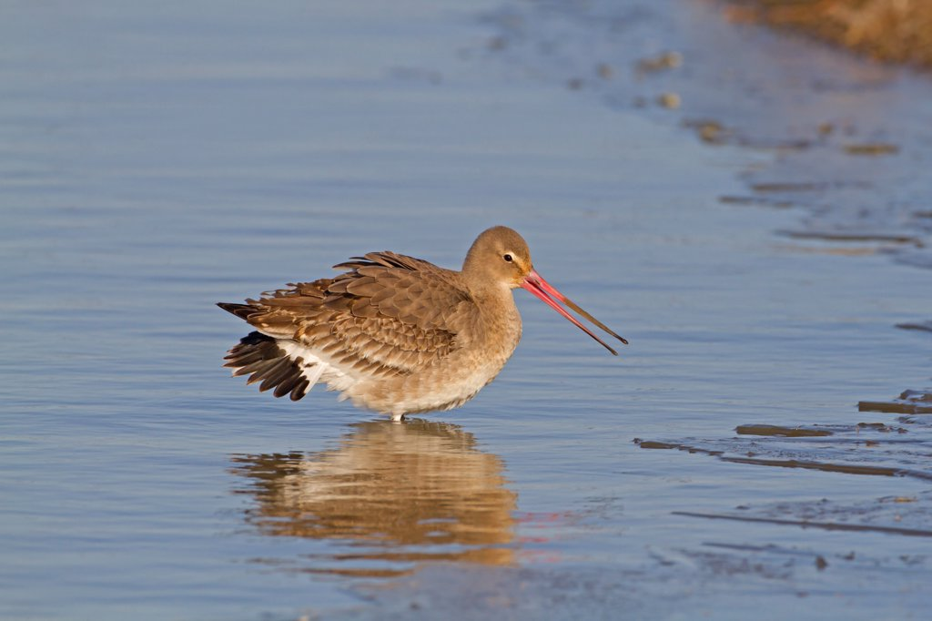 Black-tailed Godwit (Limosa limosa) adult, winter plumage, in aggressive posture, standing in shallow water at edge of ice, Norfolk, England, february : Stock Photo