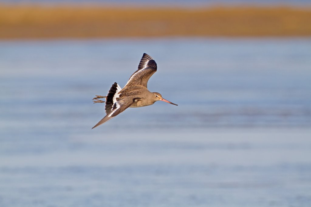 Stock Photo: 4421-5222 Black-tailed Godwit (Limosa limosa) adult, winter plumage, in flight, Norfolk, England, february