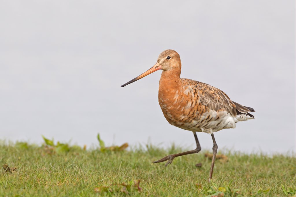 Stock Photo: 4421-5226 Black-tailed Godwit (Limosa limosa) adult, summer plumage, walking on grass, Cley, Norfolk, England, april