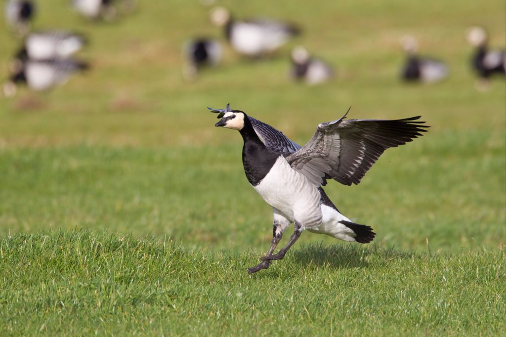 Barnacle Goose (Branta leucopsis) adult, in flight, landing in field, Islay, Inner Hebrides, Scotland, november : Stock Photo