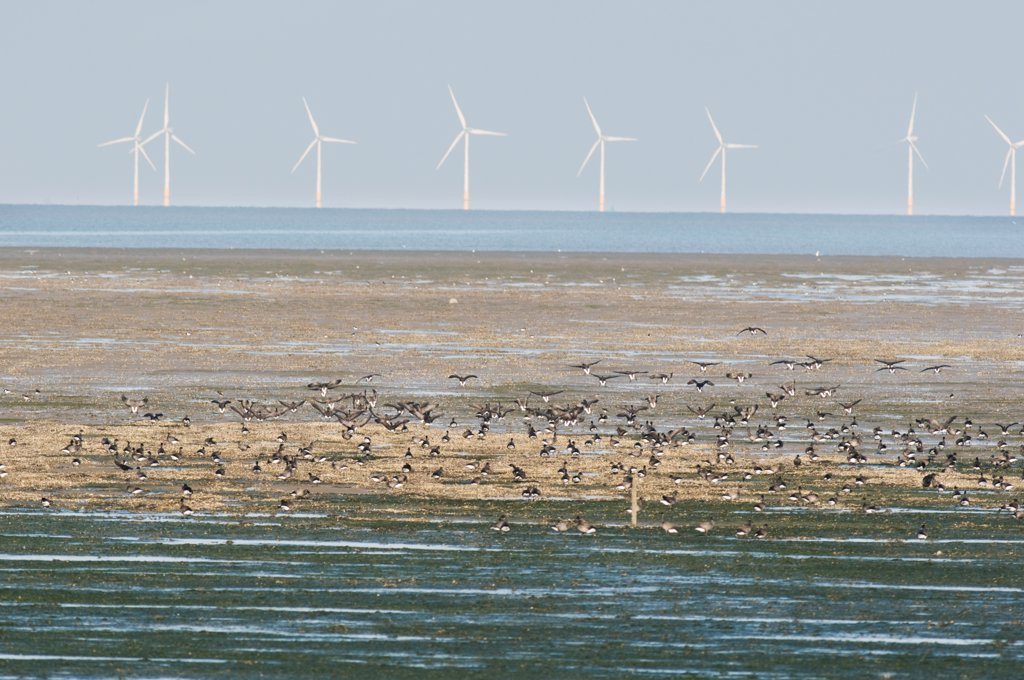 Stock Photo: 4421-5326 Brent Goose (Branta bernicla) flock, feeding on mudflats and mussel beds, with wind turbines, The Swale, North Kent Marshes, Kent, England, october
