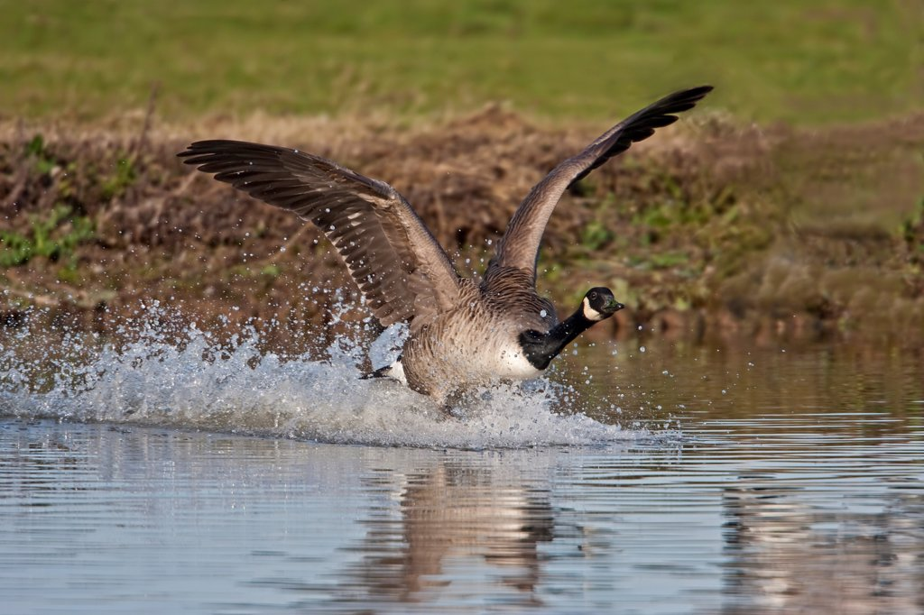 Stock Photo: 4421-5349 Canada Goose (Branta canadensis) introduced species, adult, landing on lake, Gloucestershire, England, summer