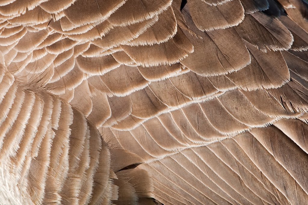 Canada Goose (Branta canadensis) introduced species, adult, close-up of wing feathers, Warwickshire, England, summer : Stock Photo