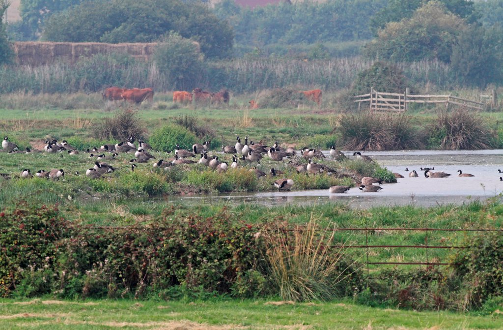 Stock Photo: 4421-5379 Canada Goose (Branta canadensis) introduced species, flock, on grazing marsh habitat, with cattle herd in distance, Exe Estuary RSPB Reserve, Devon, England, september
