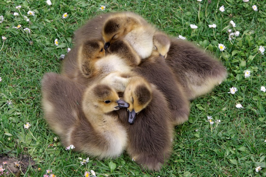Canada Goose (Branta canadensis) introduced species, goslings, sleeping huddled together, London, England, may : Stock Photo
