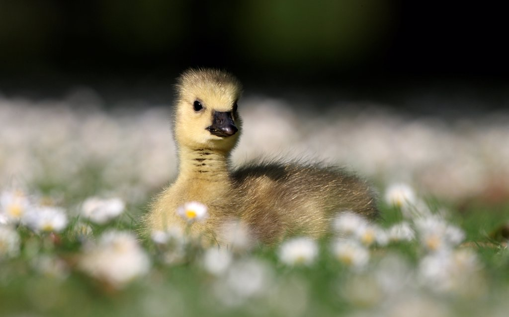 Canada Goose (Branta canadensis) introduced species, gosling, sitting on grass amongst daisies, London, England, may : Stock Photo