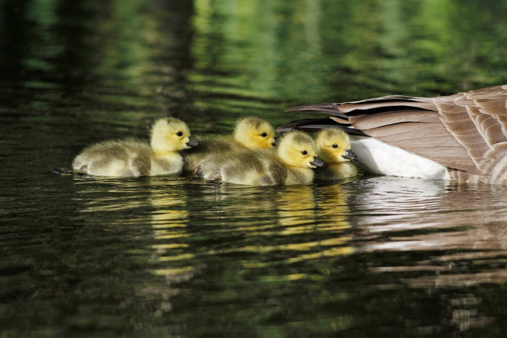 Canada Goose (Branta canadensis) introduced species, four goslings, following parent swimming on lake, Leicestershire, England, may : Stock Photo