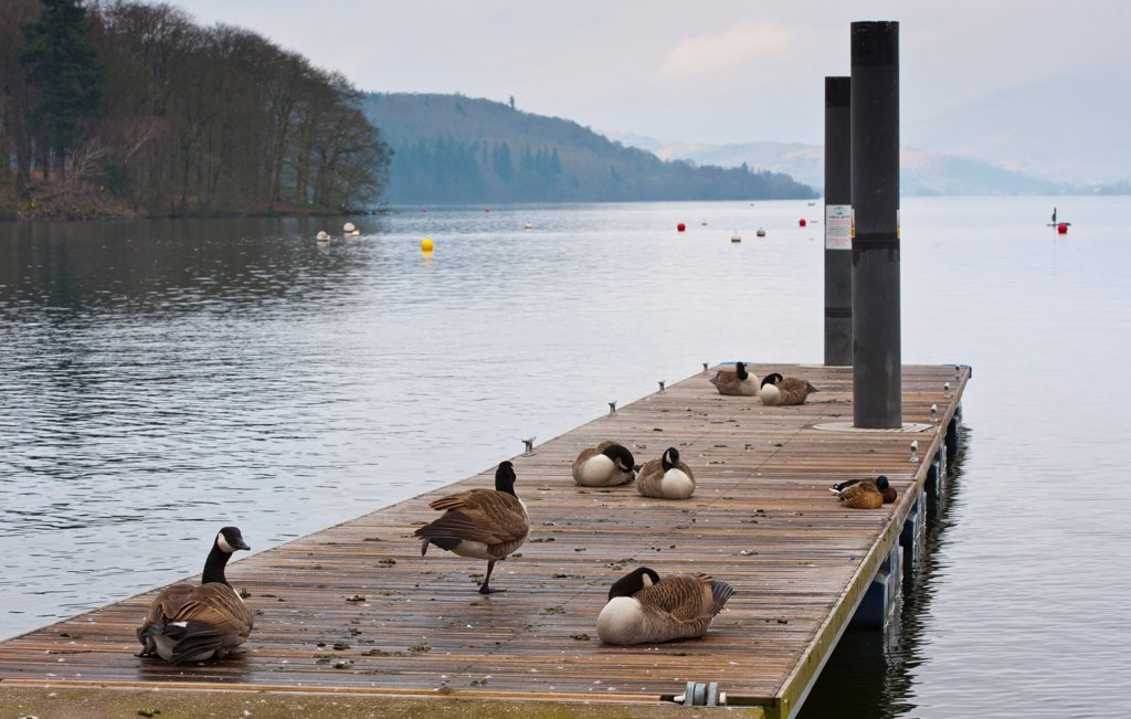 Stock Photo: 4421-5399 Canada Goose (Branta canadensis) introduced species, flock, resting on jetty at edge of lake, Bowness on Windermere, Lake Windermere, Lake District, Cumbria, England, march