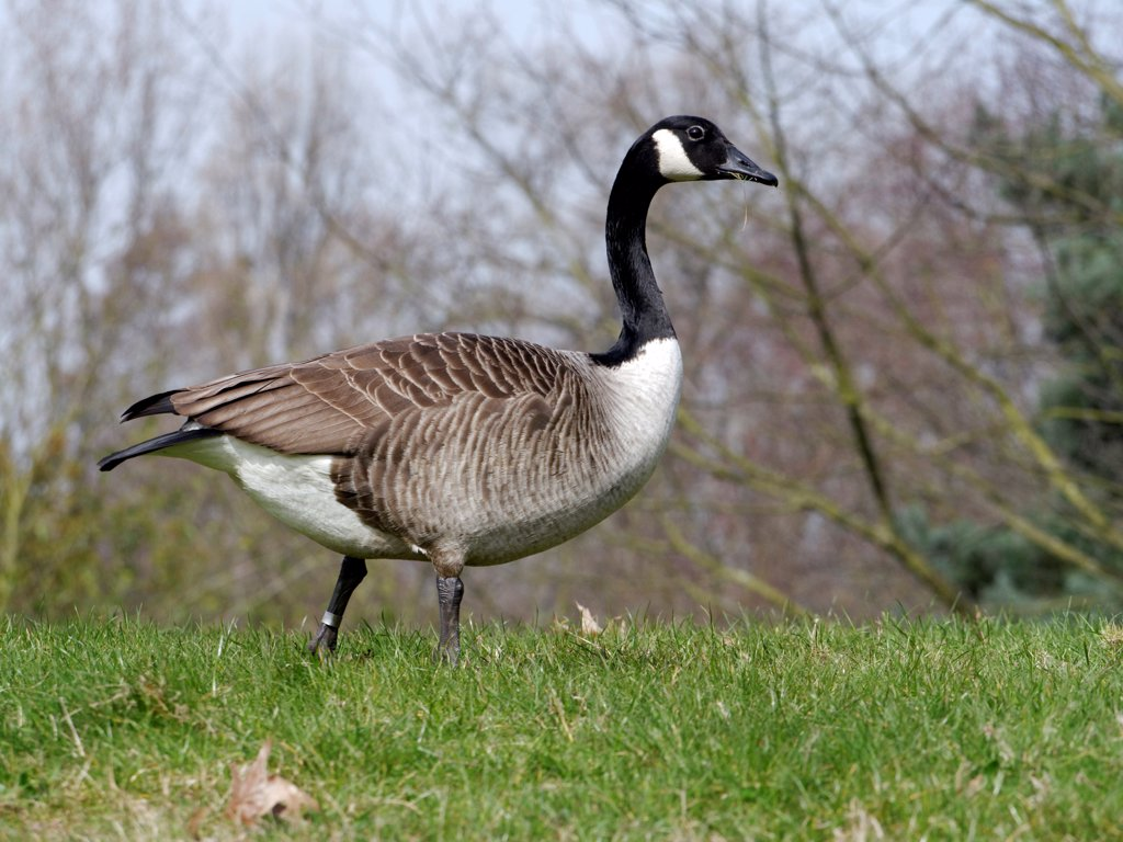 Canada Goose (Branta canadensis) introduced species, adult, walking on grass, Warwickshire, England, march : Stock Photo