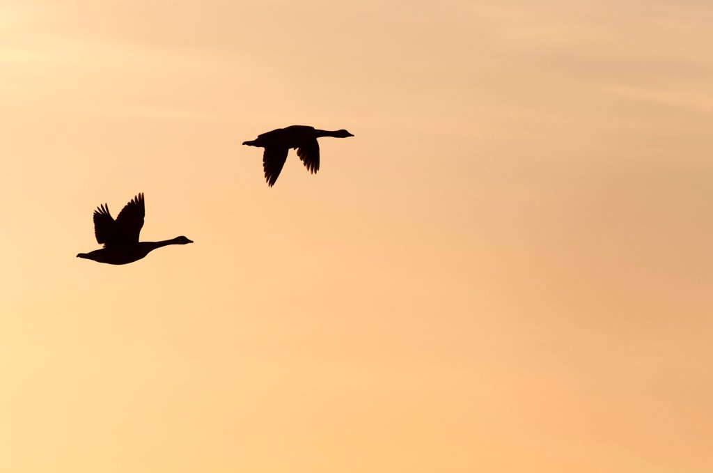Stock Photo: 4421-5411 Canada Goose (Branta canadensis) introduced species, two adults, in flight, silhouetted at sunrise, Elmley Marshes RSPB Reserve, North Kent Marshes, Isle of Sheppey, Kent, England, april