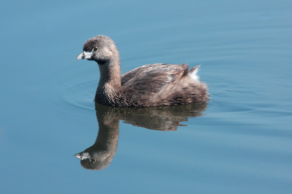 Pied-billed Grebe (Podilymbus podiceps antarcticus) adult, swimming, Vicente Lopez, Buenos Aires Province, Argentina, october : Stock Photo