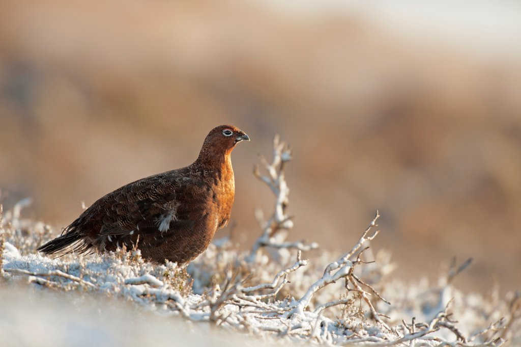 Stock Photo: 4421-6077 Red Grouse (Lagopus lagopus scoticus) adult male, standing on snow in morning sunshine, Peak District, Derbyshire, England, january
