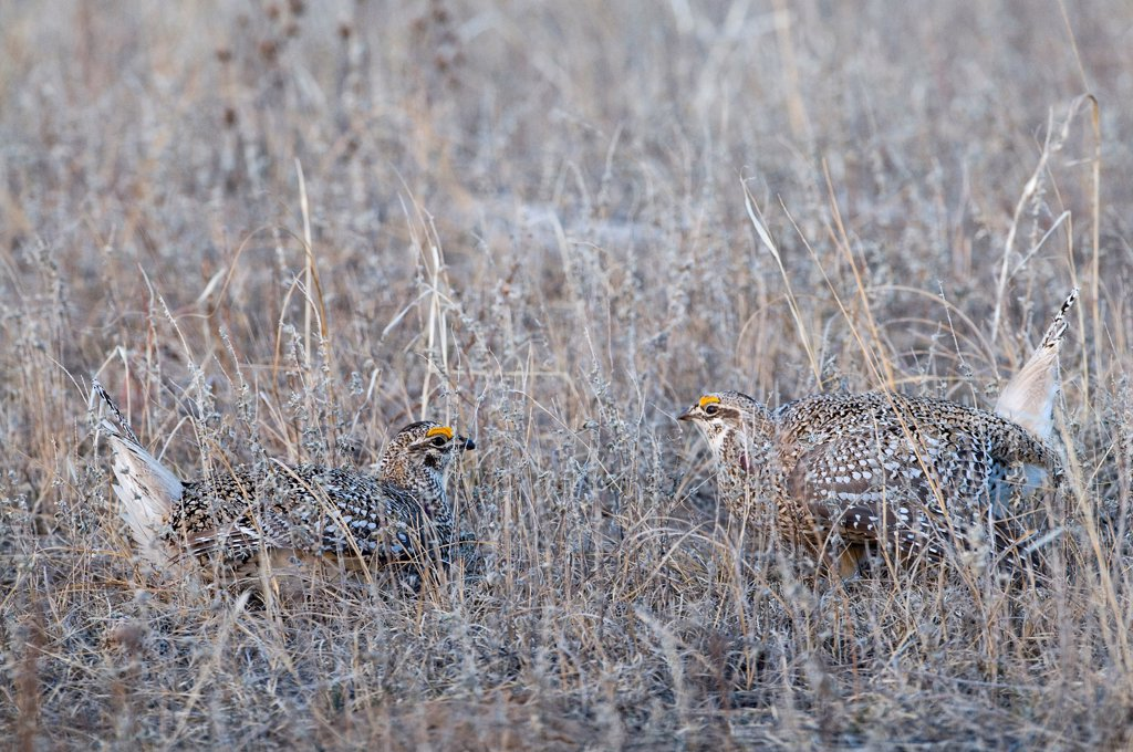 Stock Photo: 4421-6090 Sharp-tailed Grouse (Tympanuchus phasianellus) two adult males, displaying on lek at dawn, Sandhills, Nebraska, U.S.A., april