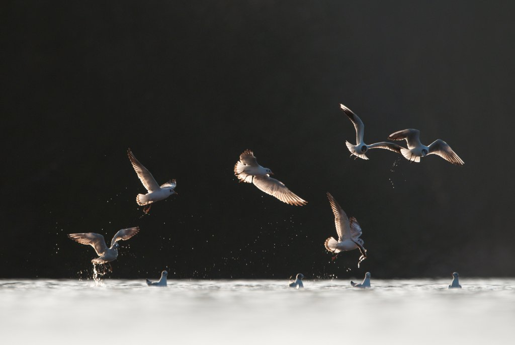 Stock Photo: 4421-6260 Black-headed Gull (Larus ridibundus) adults, winter plumage, in flight, chasing gull with dead fish picked from lake, Derbyshire, England, march