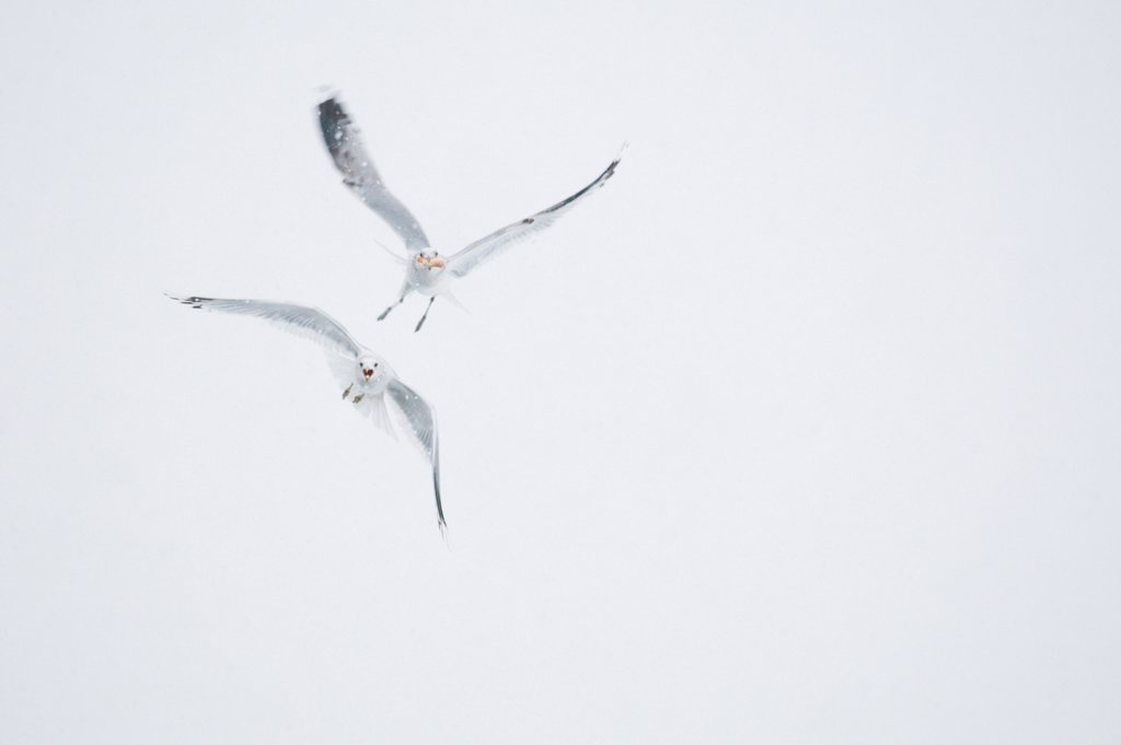 Common Gull (Larus canus) two adult, winter plumage, in flight, one pursuing another with food during blizzard, Derbyshire, England, january : Stock Photo
