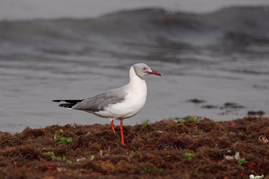 Grey-headed Gull (Chroicocephalus cirrocephalus) adult, breeding plumage, standing amongst seaweed on beach, Western Division, Gambia, march : Stock Photo