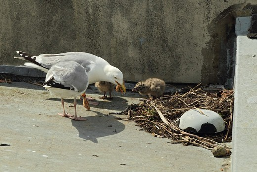Stock Photo: 4421-6439 Herring Gull (Larus argentatus) adult pair, summer plumage, feeding chicks at nest, nesting on roof in seaside town, Weymouth, Dorset, England, june