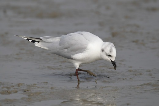 Saunders's Gull (Chroicocephalus saundersi) adult, non-breeding plumage, foraging on mudflats, Mai Po Nature Reserve, Hong Kong, China, december : Stock Photo