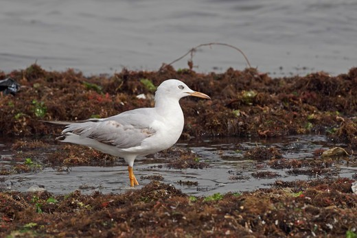 Slender-billed Gull (Chroicocephalus genei) immature, standing amongst seaweed in shallow water, Gambia, march : Stock Photo