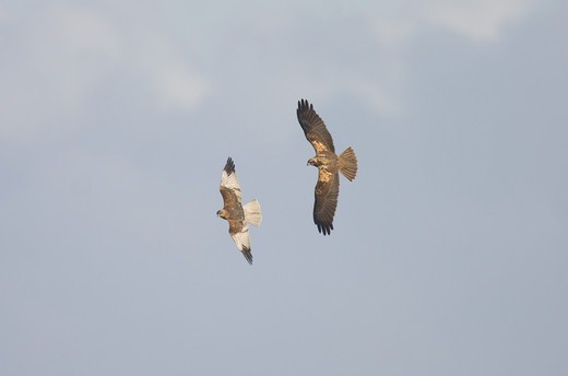 Marsh Harrier (Circus aeruginosus) (Circus aeruginosus) adult pair, sparring in flight, Norfolk, England, winter : Stock Photo