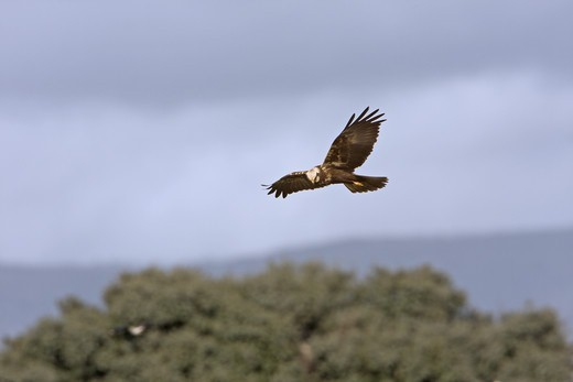 Western Marsh Harrier (Circus aeruginosus) adult female, in flight, hunting and quartering, Extremadura, Spain, february : Stock Photo