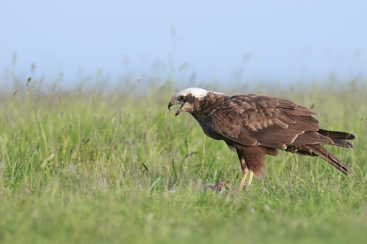 Stock Photo: 4421-6526 Western Marsh Harrier (Circus aeruginosus) adult female, feeding on prey, North Kent Marshes, Isle of Sheppey, Kent, England, june