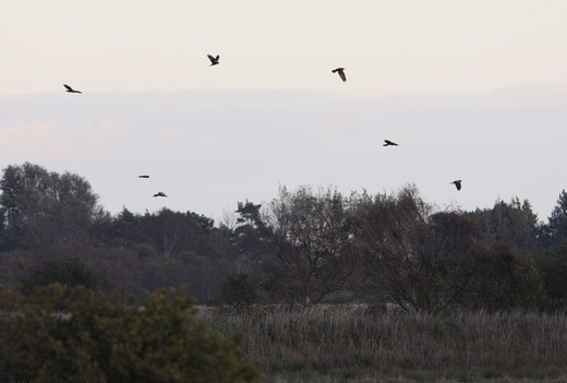 Stock Photo: 4421-6530 Western Marsh Harrier (Circus aeruginosus) flock, pre-roost gathering over wetland habitat, Norfolk Broads N.P., Norfolk, England, october