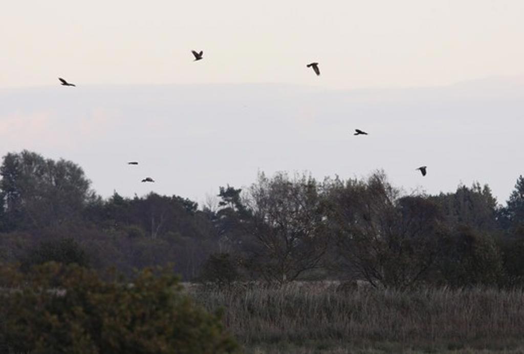 Western Marsh Harrier (Circus aeruginosus) flock, pre-roost gathering over wetland habitat, Norfolk Broads N.P., Norfolk, England, october : Stock Photo