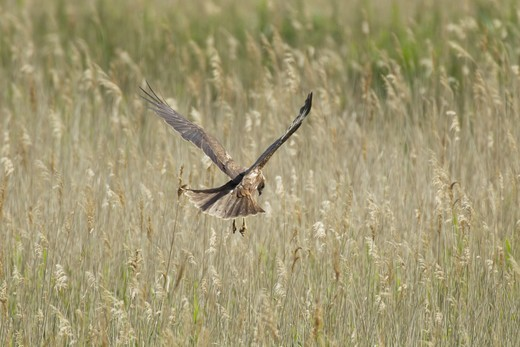Western Marsh Harrier (Circus aeruginosus) adult female, in flight, hunting over marsh, Minsmere RSPB Reserve,  Suffolk, England, june : Stock Photo