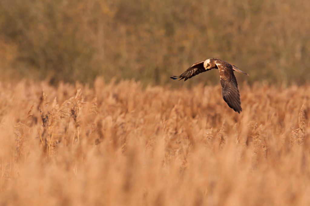 Stock Photo: 4421-6568 Western Marsh Harrier (Circus aeruginosus) adult female, in flight, hunting over reedbed, Norfolk, England, december