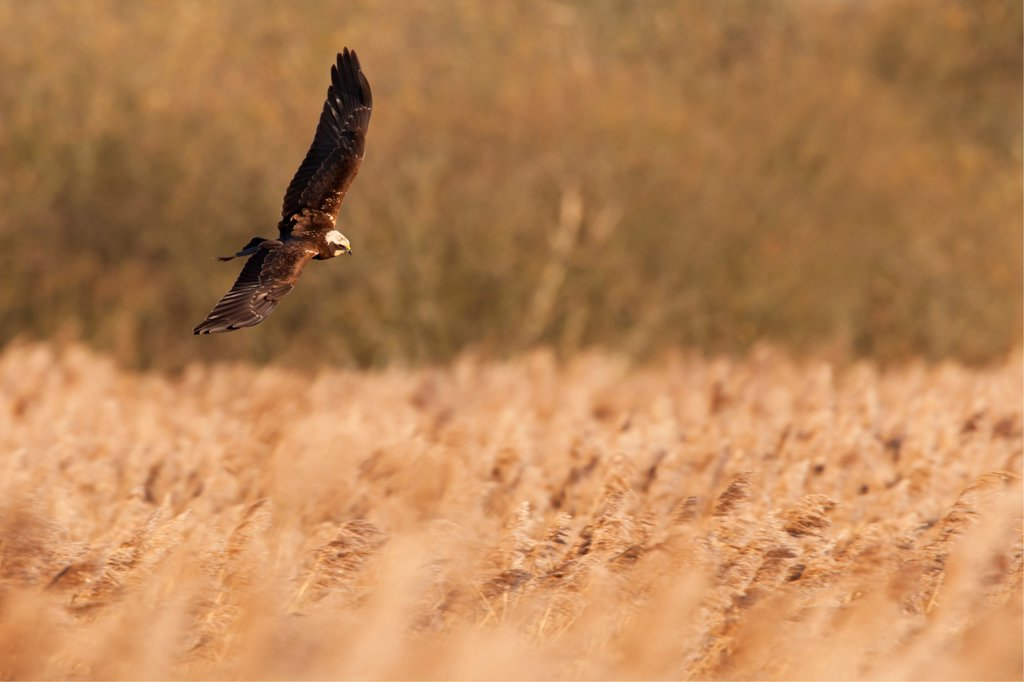 Stock Photo: 4421-6572 Western Marsh Harrier (Circus aeruginosus) juvenile, in flight, hunting over reedbed, Norfolk, England, december