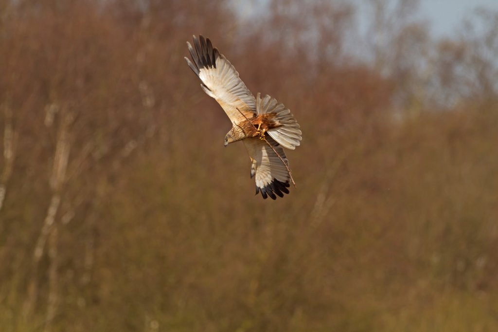 Stock Photo: 4421-6573 Western Marsh Harrier (Circus aeruginosus) adult male, in flight, carrying nesting material, Sculthorpe Moor Nature Reserve, Wensum Valley, Norfolk, England, april