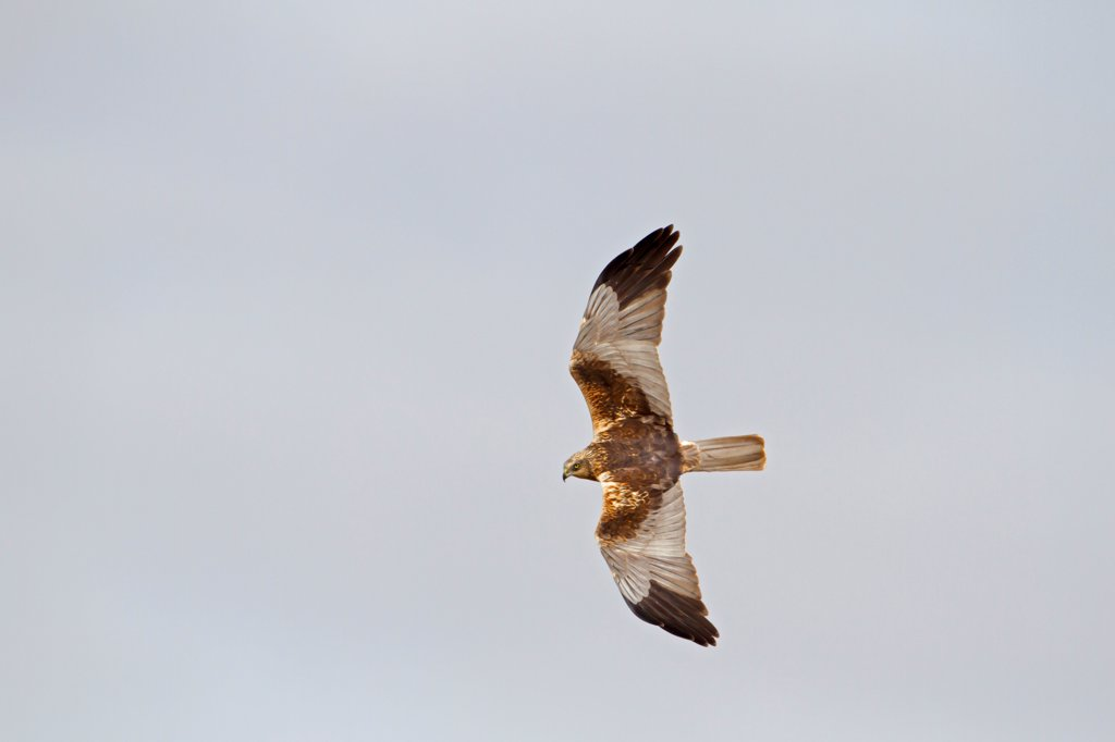 Stock Photo: 4421-6575 Western Marsh Harrier (Circus aeruginosus) adult male, in display flight, Sculthorpe Moor Nature Reserve, Wensum Valley, Norfolk, England, april