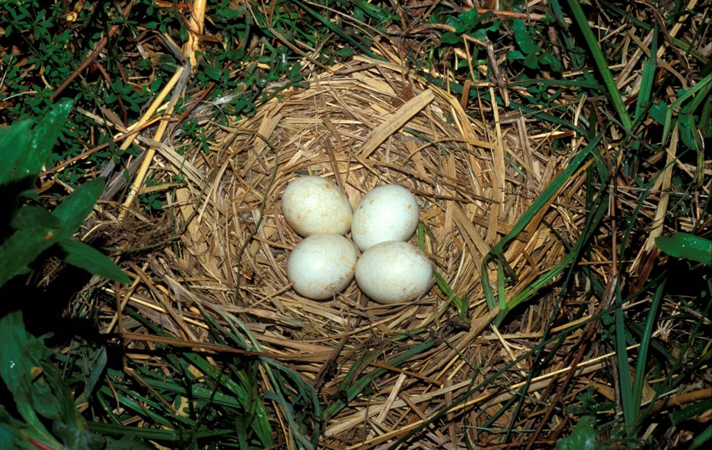 Montagu's Harrier (Circus pygargus)  Nest with four eggs : Stock Photo