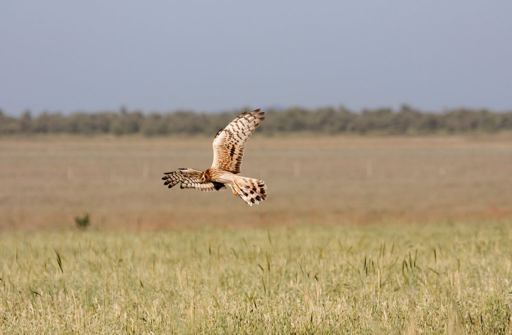 Stock Photo: 4421-6579 Montagu's Harrier (Circus pygargus) adult female, in flight, hunting over field, Extremadura, Spain, may