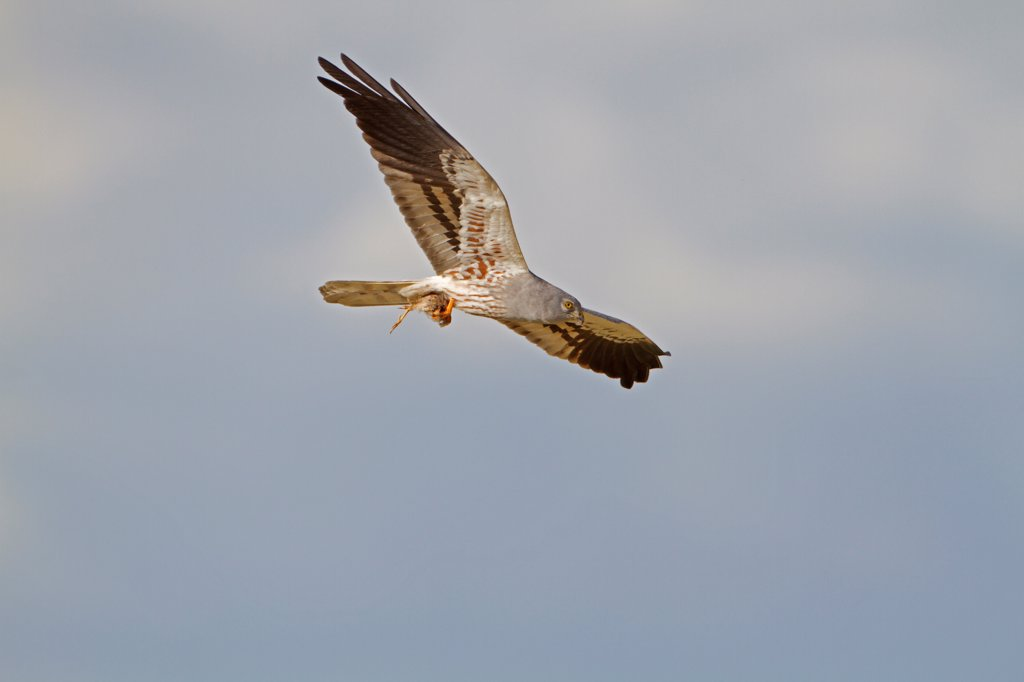 Montagu's Harrier (Circus pygargus) adult male, in flight, carrying passerine bird prey in talons, Spain, may : Stock Photo
