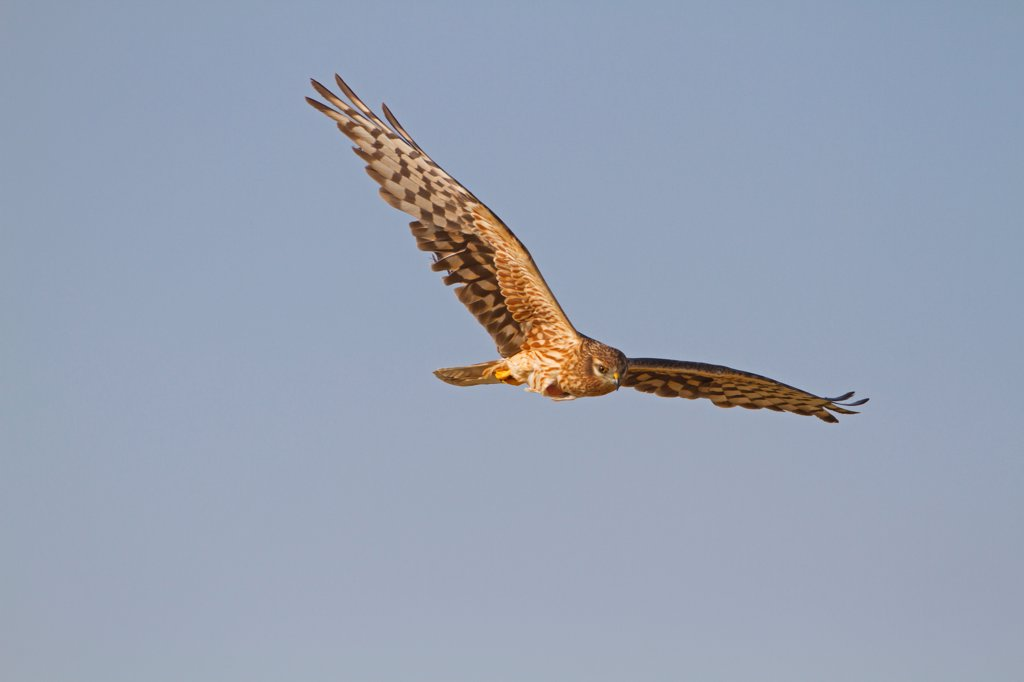 Montagu's Harrier (Circus pygargus) adult female, in flight, Spain, june : Stock Photo
