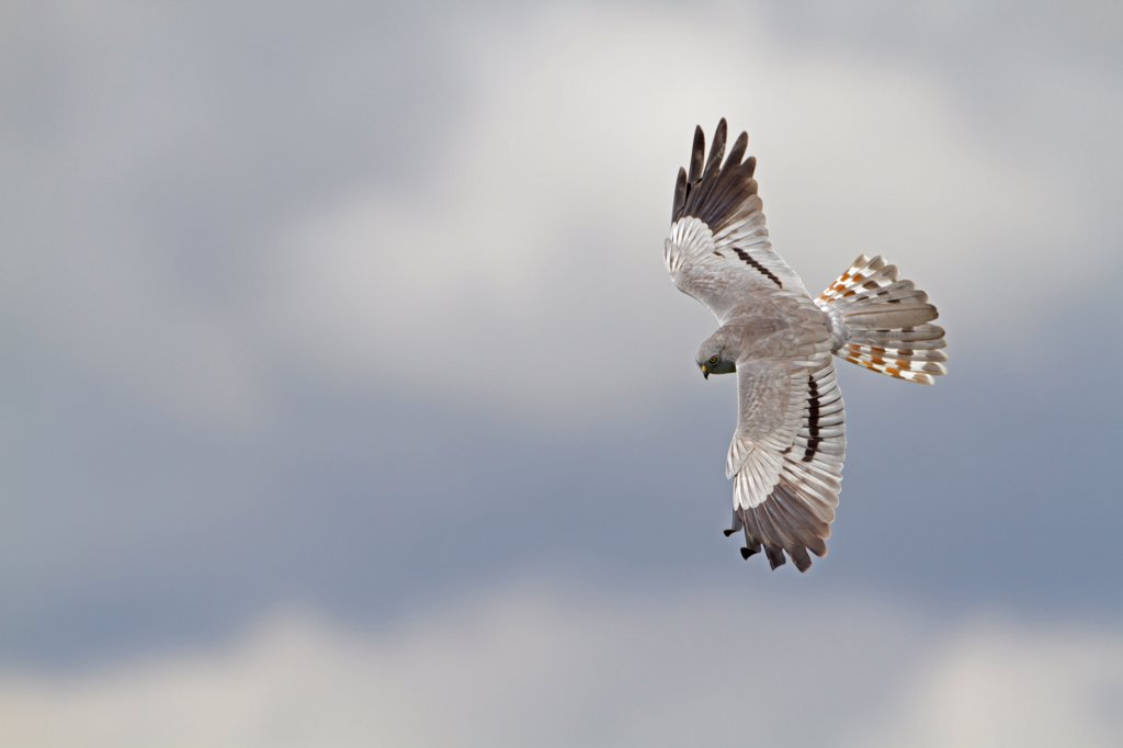 Stock Photo: 4421-6587 Montagu's Harrier (Circus pygargus) adult male, in flight, Spain, april