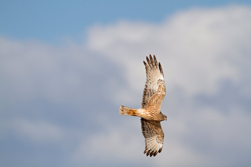 Stock Photo: 4421-6588 Swamp Harrier (Circus approximans) adult, in flight, New Zealand, november