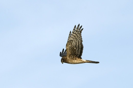 Northern Harrier (Circus cyaneus hudsonius) adult female, in flight, Bosque del Apache National Wildlife Refuge, New Mexico, U.S.A., january : Stock Photo