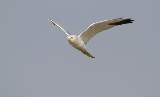Stock Photo: 4421-6591 Pallid Harrier (Circus macrourus) adult male, in flight, India, february