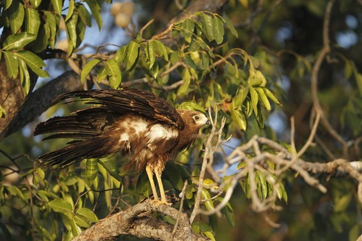 Stock Photo: 4421-6640 African Harrier-hawk (Polyboroides typus) immature, with feathers ruffled, perched on branch, Gambia, january