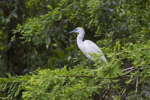 Little Blue Heron (Egretta caerulea) juvenile, standing on branches in tree, Corkscrew Swamp Wildlife Refuge, Florida, U.S.A. : Stock Photo