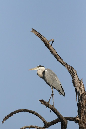 Grey Heron (Ardea cinerea) adult, perched on branch in dead tree, Gambia, january : Stock Photo
