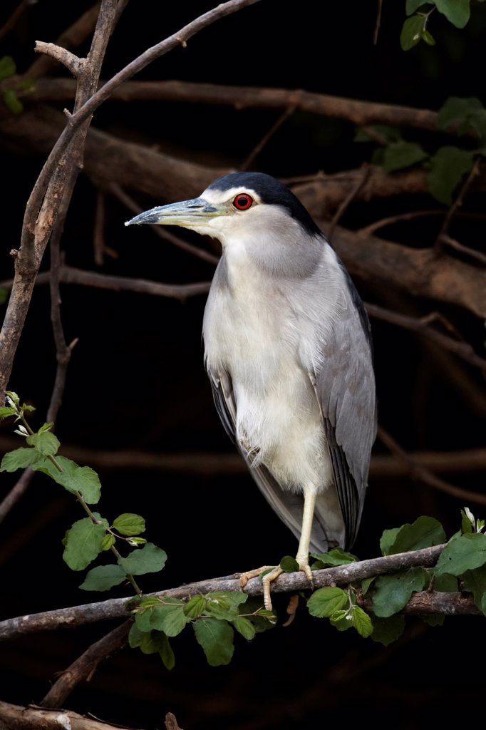 Stock Photo: 4421-6819 Black-crowned Night-heron (Nycticorax nyctocorax) adult, standing on branch, Gambia River, Niokolo-Koba area, Senegal, january
