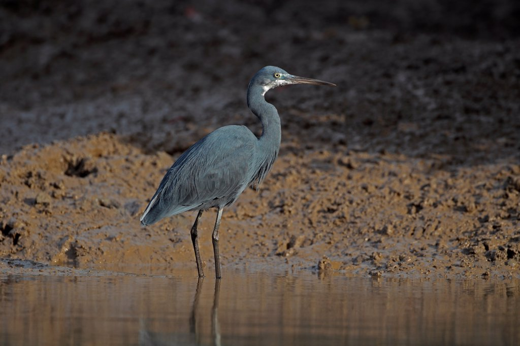 Western Reef Heron (Egretta gularis) adult, standing in water, Gambia, january : Stock Photo